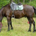 Auvergne Horse Wikipedia