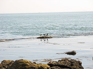 English: Oystercatchers in the shallows