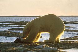 Um urso busca comida em uma praia rochosa.