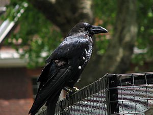 English: A raven perched on the raven cage at ...