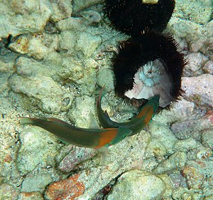 Saddle Wrasse, Thalassoma duperrey feeding on ...