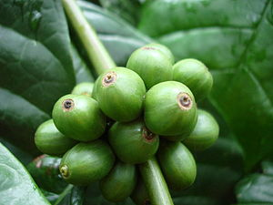 Unripe berries of the species Coffea canephora...