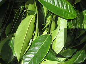 English: Leaves of Ilex guayusa picked from th...