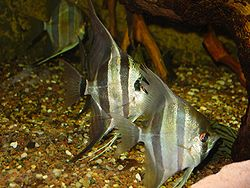 Acará bandeira (Pterophyllum scalare)