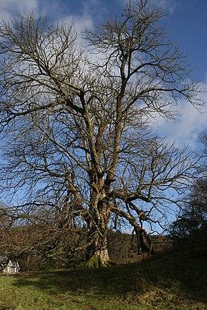 English: Solitary tree, Hafod Estate