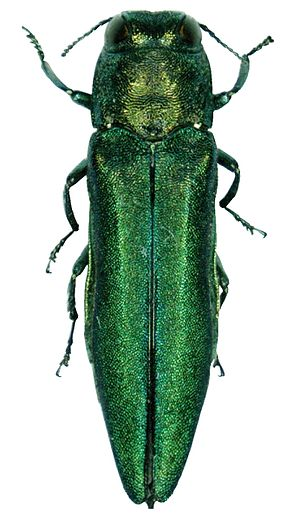 English: Agrilus planipennis, the emerald ash ...