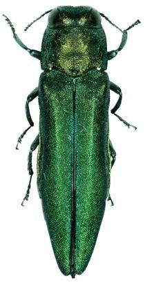 English: Agrilus planipennis, the emerald ash ...