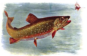 Color Plate Brook Trout from American Fishes b...