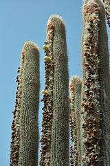 Culture des CactusQuelques remarques sur quelques espces  Wikilivres