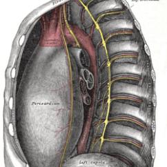 Anatomical Heart Diagram Posterior Lexus Ls400 Wiring Intercostal Veins - Wikipedia