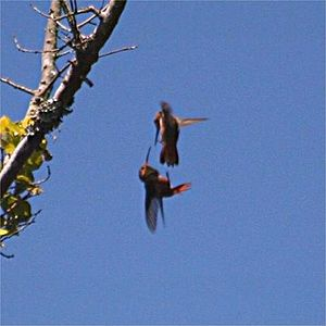 Two males hummingbird are fighting. They do it...