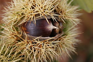 English: Sweet chestnut fruit