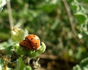 Copulation of two ladybirds - (Henosepilachna ...