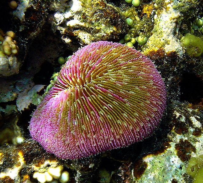 File:Muchroom coral.JPG