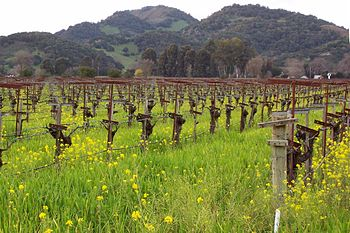 Mustards in the spring in Napa Valley. Photo b...