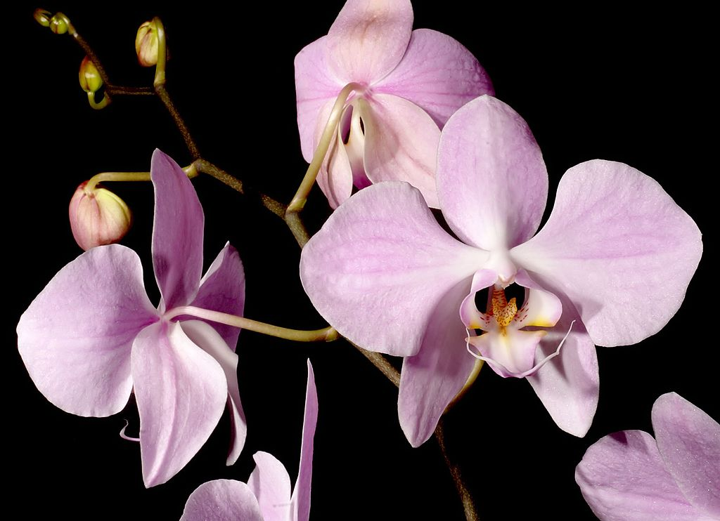 File:Phalaenopsis sanderiana Orchi 9913.jpg - Wikimedia Commons