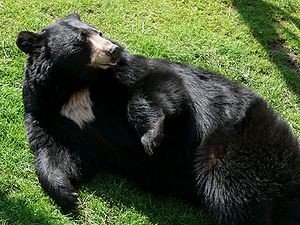 English: An American Black Bear (Ursus america...