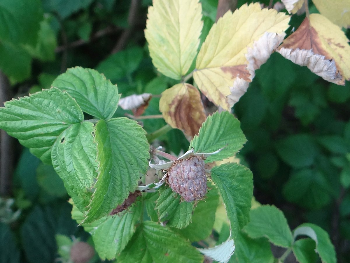 Raspberry spur blight  Wikipedia