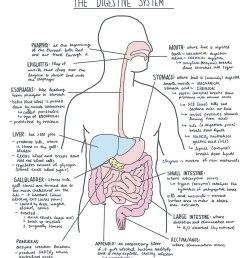 file digestive system diagram jpg [ 913 x 1024 Pixel ]