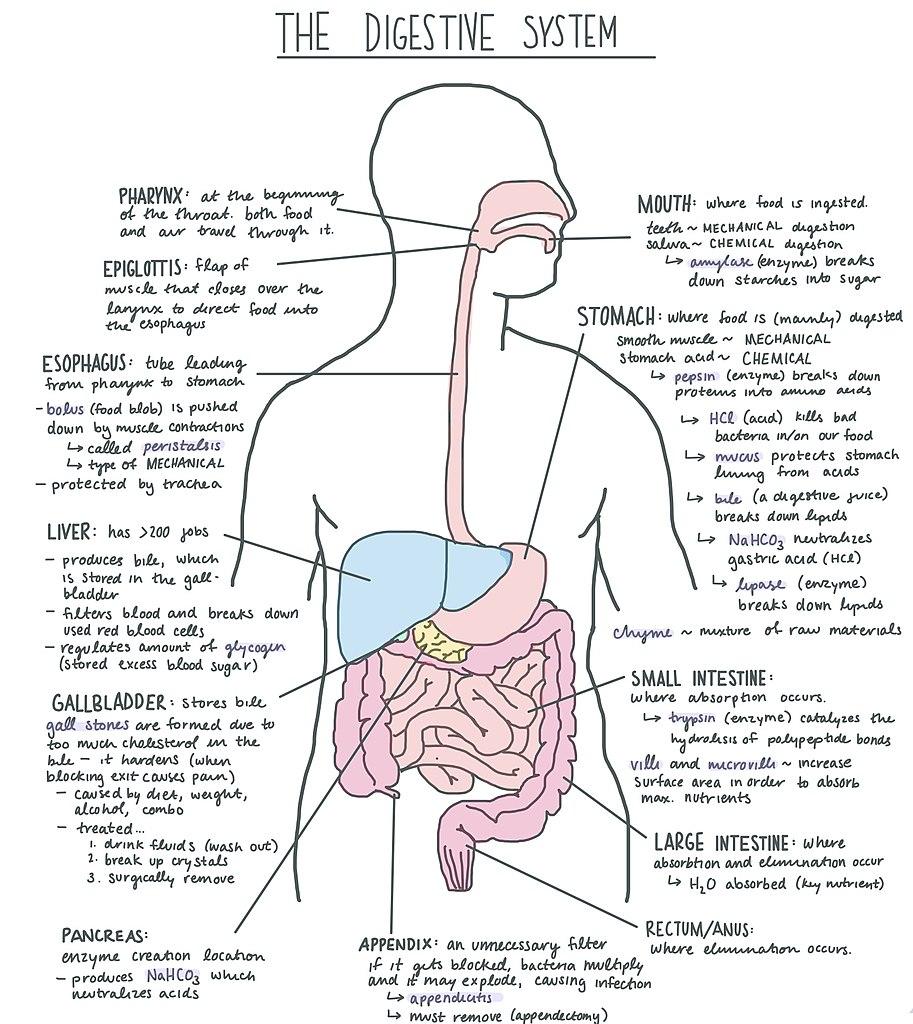 medium resolution of file digestive system diagram jpg