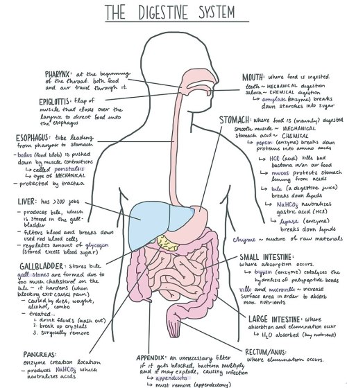 small resolution of file digestive system diagram jpg