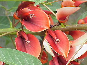 Erythrina crista-galli (National flower of Arg...
