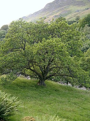 Oak tree. Oak tree in Glen Lyon, on the south ...