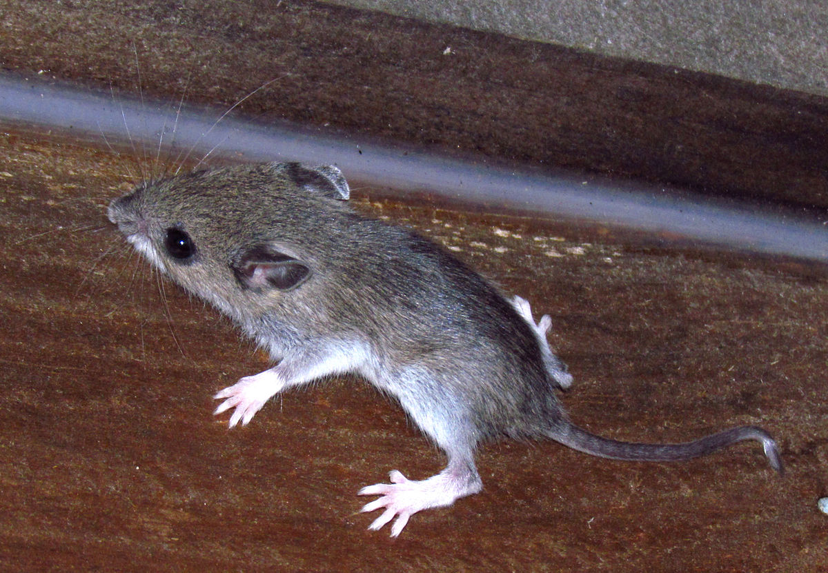 white footed mouse wikipedia
