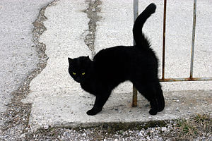 English: A Black cat Italiano: Un gatto nero D...