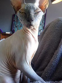 Munchkin Sphynx Cat : munchkin, sphynx, Sphynx, Wikipedia