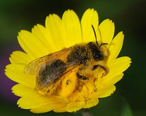 A Andrena sp. bee with a full load of pollen o...