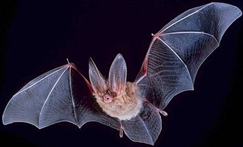 Big eared townsend bat (Corynorhinus townsendii)