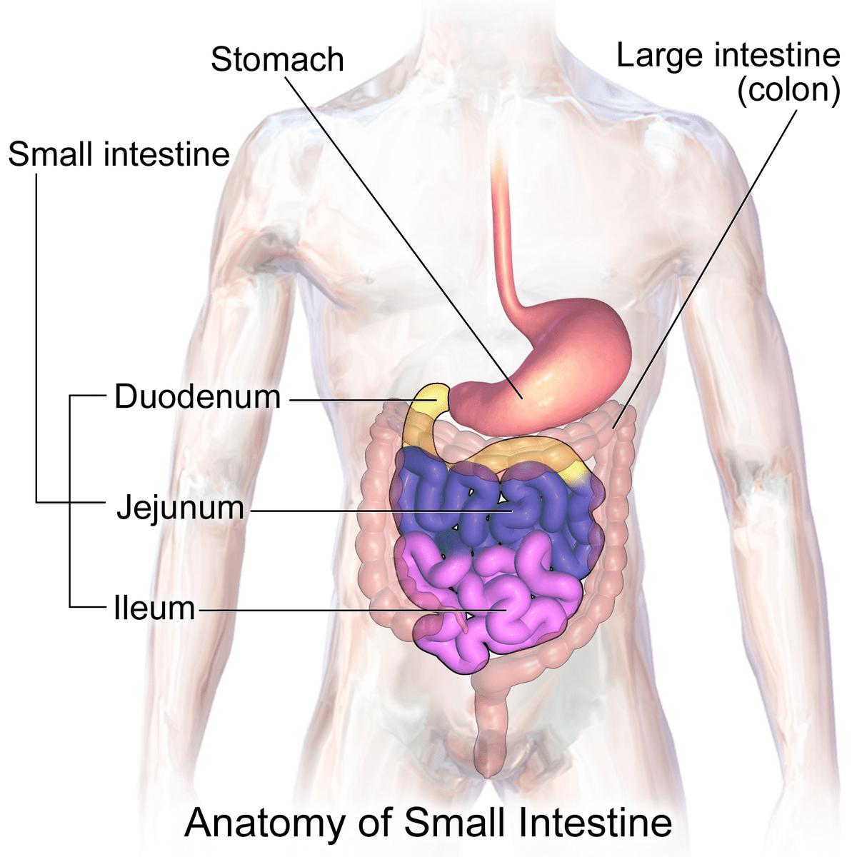 diagram of large intestine and colon 12v cigarette lighter wiring small wikipedia