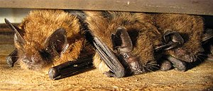 A few Big Brown Bats sheltering between a hous...