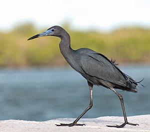 Egretta caerulea English: A Little Blue Heron ...