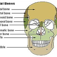 Ethmoid Bone Diagram 1999 Honda Accord Fuse Box Vomer Wikipedia Illu Facial Bones Jpg