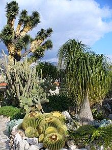 Yucca filifera  Wikipedia la enciclopedia libre
