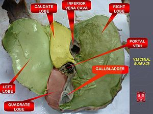 English: Lobes of liver