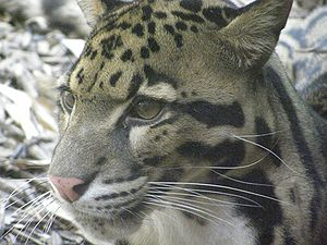 Clouded leopard face, close up