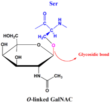 Structural Biochemistry/Carbohydrates/Oligosaccharides