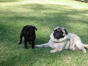 A black pug puppy next to an overweight adult pug.
