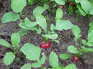 Growing radish plants
