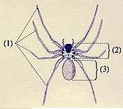 Anatomi laba-laba: (1) empat pasang kaki (2) cephalothorax (3) opisthosoma
