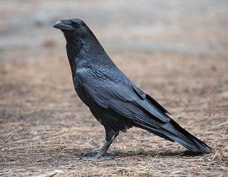 Corvus corax (Common Raven), Yosemite NP, CA, US - Diliff