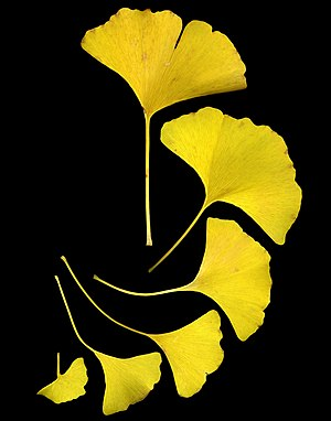 Ginkgo leaves shown in their fall color, yellow.