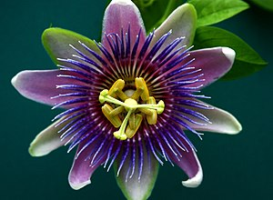 English: passion flower