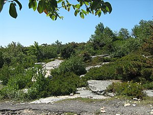 English: The dwarf pine barrens in the Sam's P...