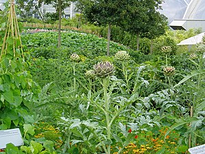 The 'vegetable garden' at Eden, with Cynara ca...