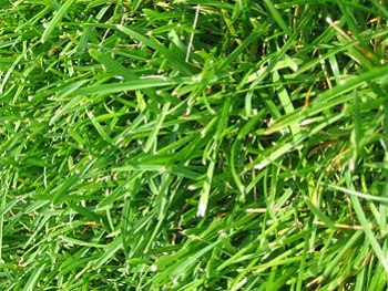 English: A closeup of some nice green grass gr...