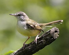 Barwinged prinia  Wikipedia